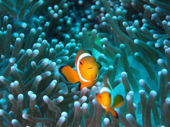 You'll find Clownfish hanging out in Anemone's around The Cargo Ship and the Catalina dive site.