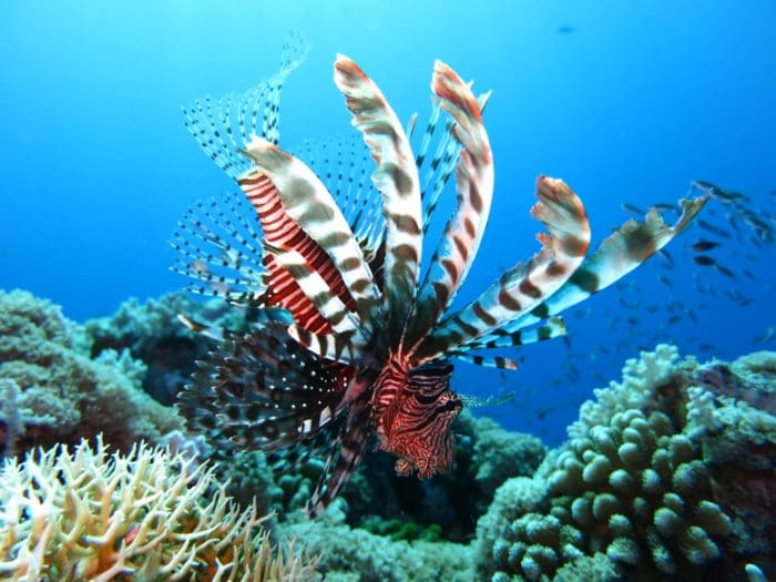 You'll see a number of Lionfish at The Aquarium Dive Site