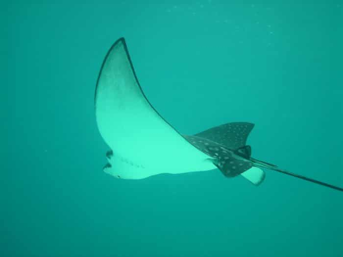Eagle Rays glide around the Rays Corridor Drift dive