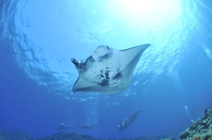 The majestic Manta Ray can go around the SS Yongala Wreck Dive