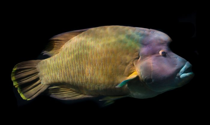 Look out for Giant Napoleon Wrasse at Miri Miri