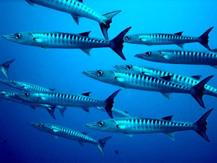 There are schools of Barracuda at Diamond Rock