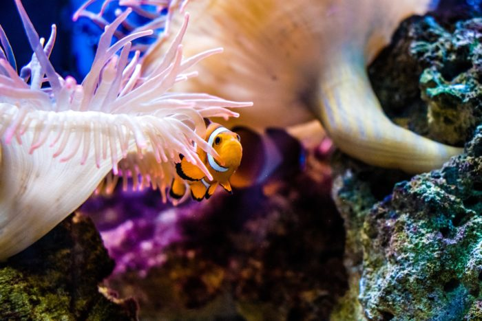 Keep an eye out for the Clown Fish living within the Anemones at Toopua