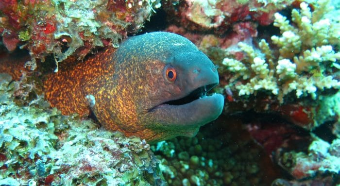 Opunohu Coral Wall has many cracks and holes in it, where you can find Moray Eels.