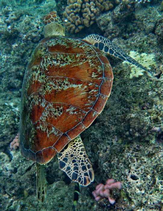 Turtles have been seen perusing the reef at Flinders Reef