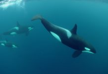 Diving with orcas, Norway