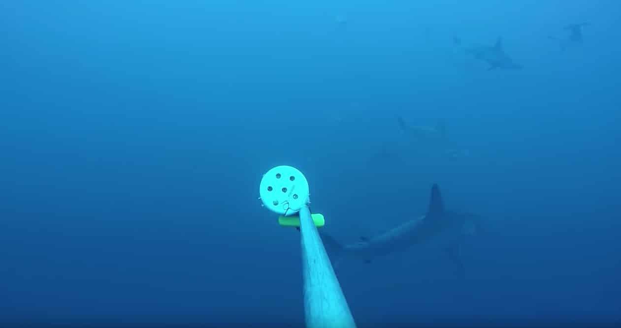 BRUVS photo of a shark. (Photo credit: Fundacion Pacifico)