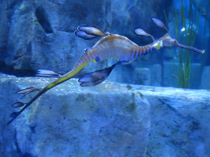 Keep an eye out for Weedy Sea Dragons found hiding within the Kelp at Paterson's Arches. Don't mistake them for their cousins, the Leafy Sea Dragon.