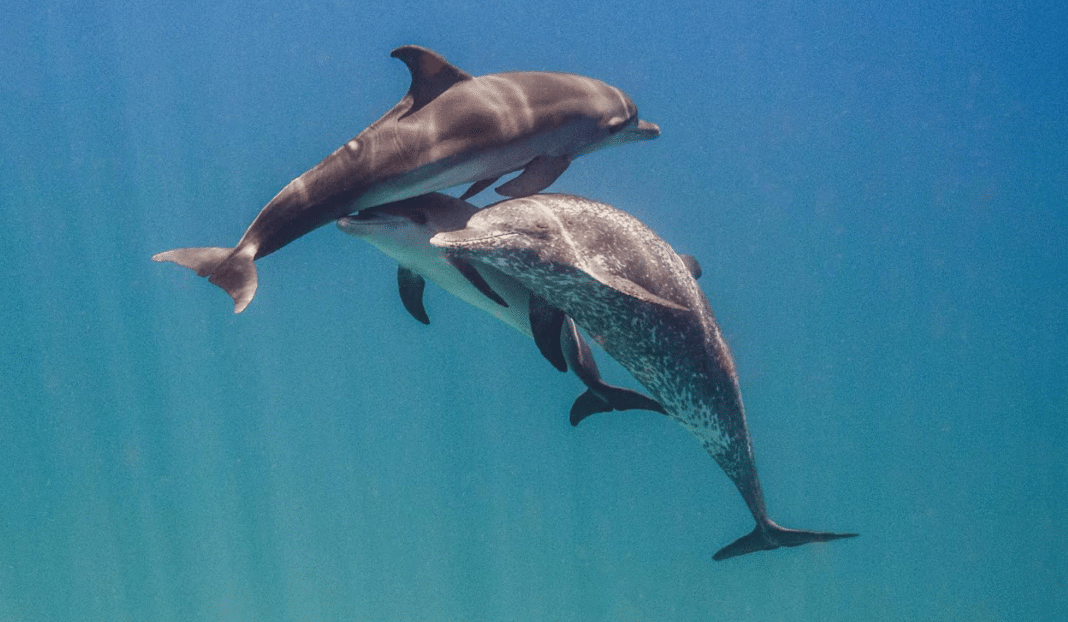 Changing Seas: Experts study the communication of Atlantic spotted dolphins in the Bahamas.
