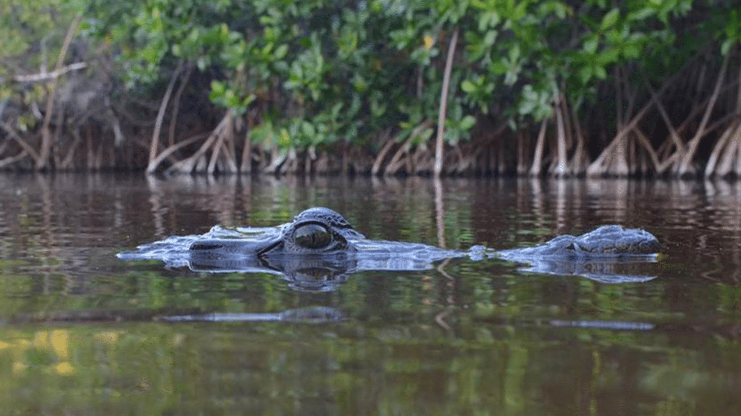 Changing Seas: American crocodiles face an uncertain future in Jamaica.