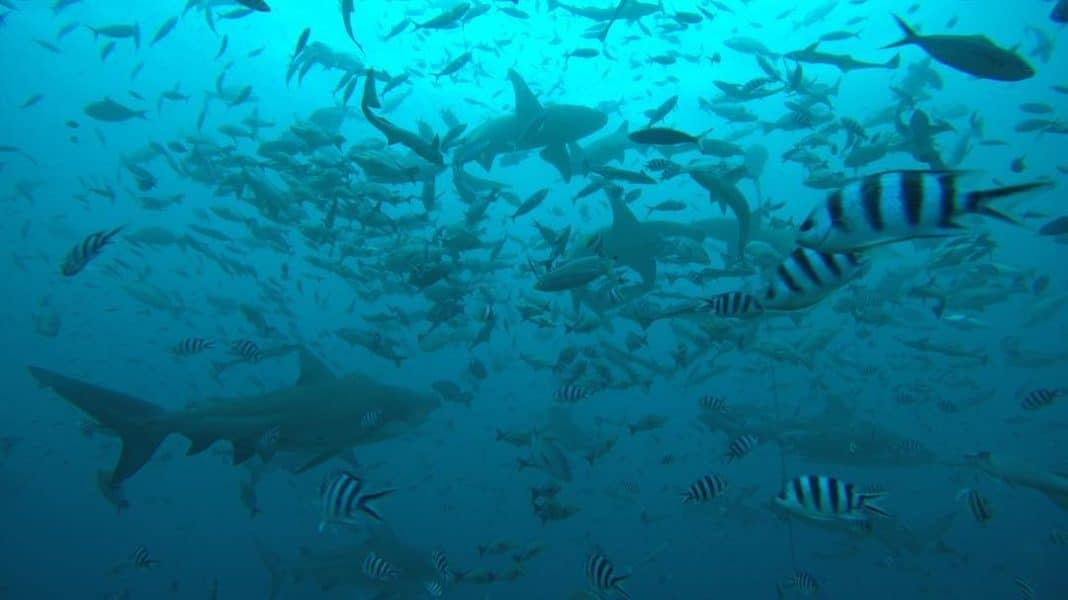 Shark Diving in Fiji. Photo by Stephan Whelan