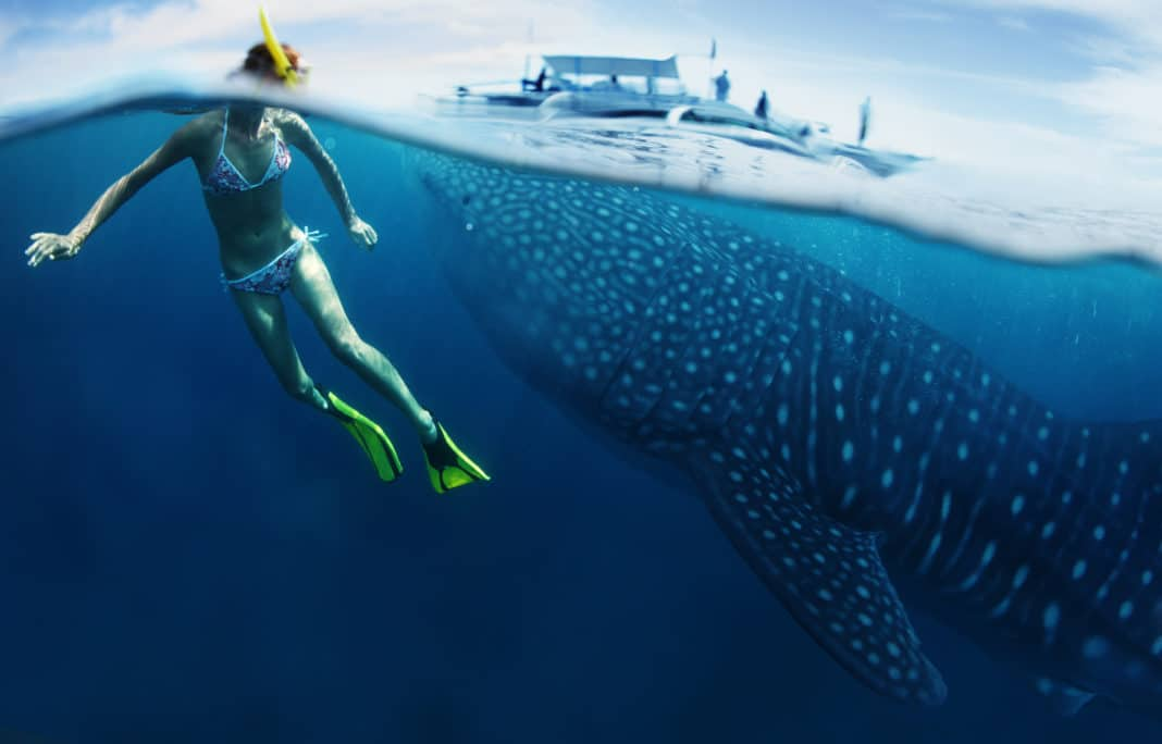 Young lady snorkeling in tropical sea with gigantic whale shark ( Rhincodon typus)