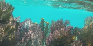 Fan Corals on the Belize Barrier Reef (Photo credit: M.Gray97/Wikimedia Commons)