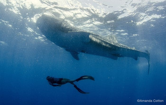 Freediver Sarah Barrett swimming beneath a whale shark. Image by Amanda Cotton