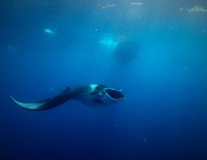 Manta Ray feeding alongside the whale sharks