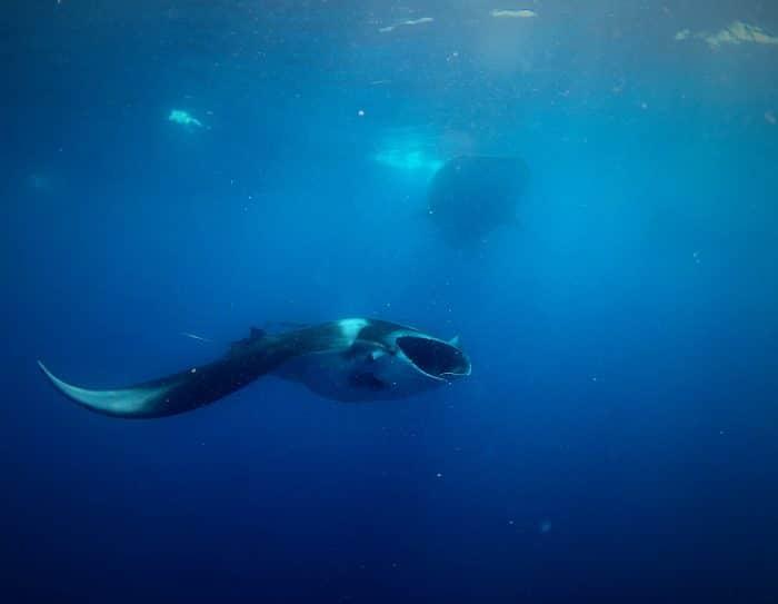 Manta Ray feeding alongside the whale sharks