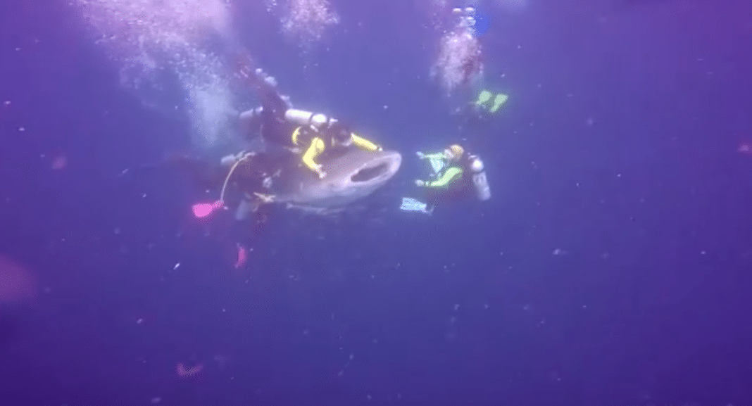 Idiot Divers Arrested For Riding Whale Shark