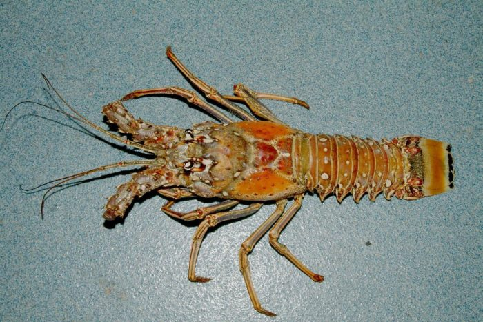 Florida Spiny Lobster are they worth dying for?  Photograph by NOAA