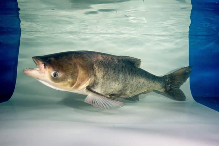 Adult Bighead Carp