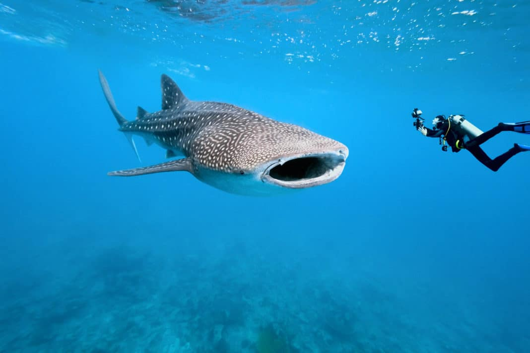 One of the main reasons to visit the Seychelles is to dive with whale sharks.