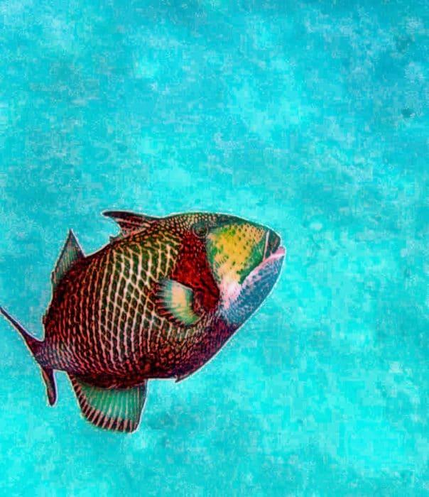 Triggerfish at Ko Tao