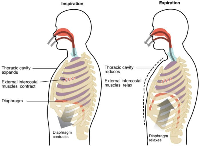 Diagram of the diaphragm, intercostal muscles, and lungs inside of the thoracic cavity.