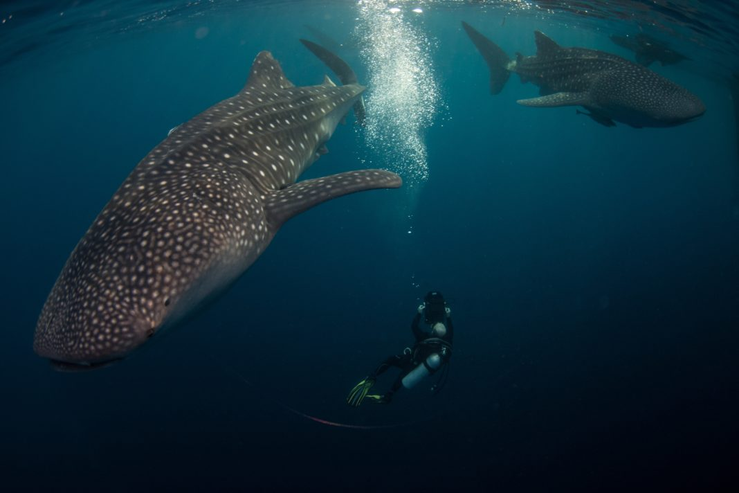 """©Nick Law Barefoot yachts. Middle sized whale sharks congregate under a """"Bagan"""" ready for their early breakfast."""