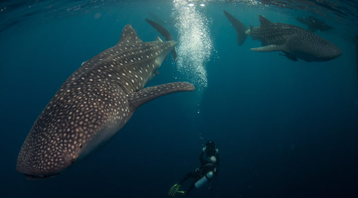 "©Nick Law Barefoot yachts. Middle sized whale sharks congregate under a ""Bagan"" ready for their early breakfast."