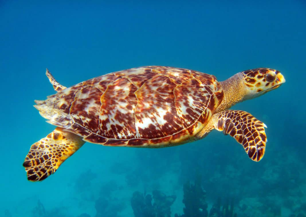 Sea Turtle by Julie Suess Photography