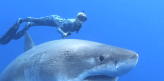 Ocean Ramsey diving with Great White Shark 'Deep Blue'