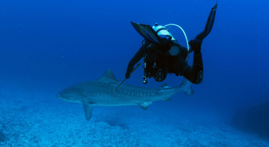 Scientist Tags Shark That Killed U.S. Diver