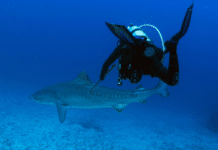 Scientist Tags Shark That Killed U.S. Diver
