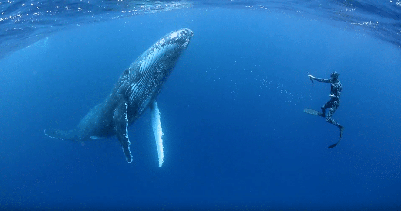 Humpbackswims.com Is Offering A Tempting Incentive To Swim With Whales In Tonga