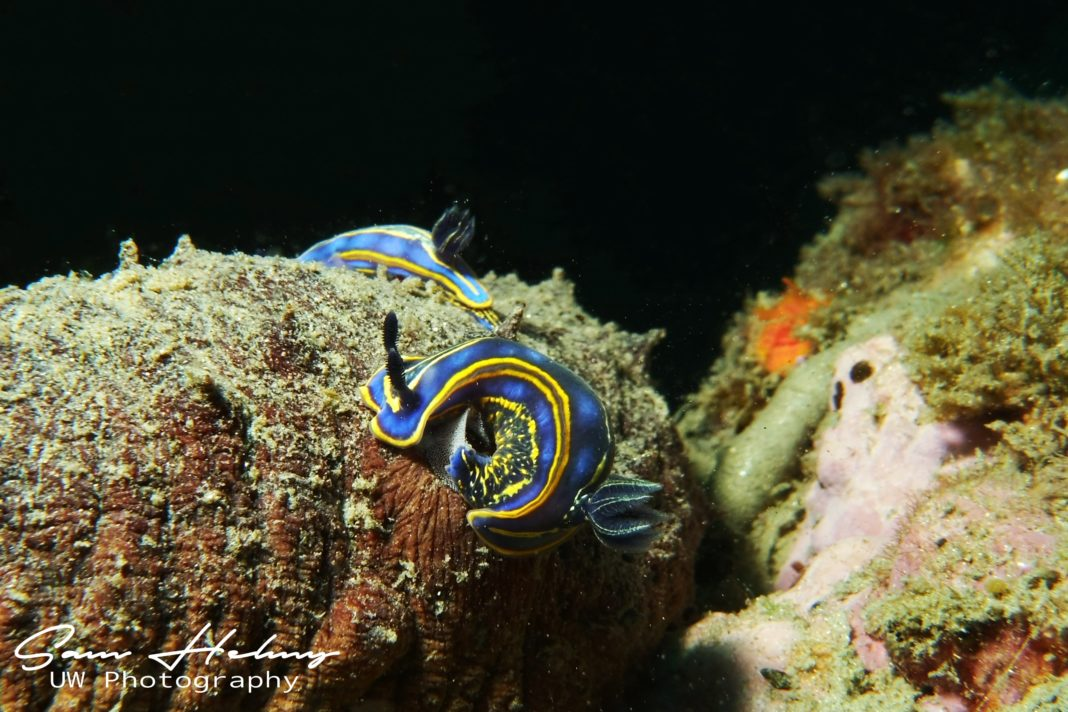 Nudi After mating with eggs