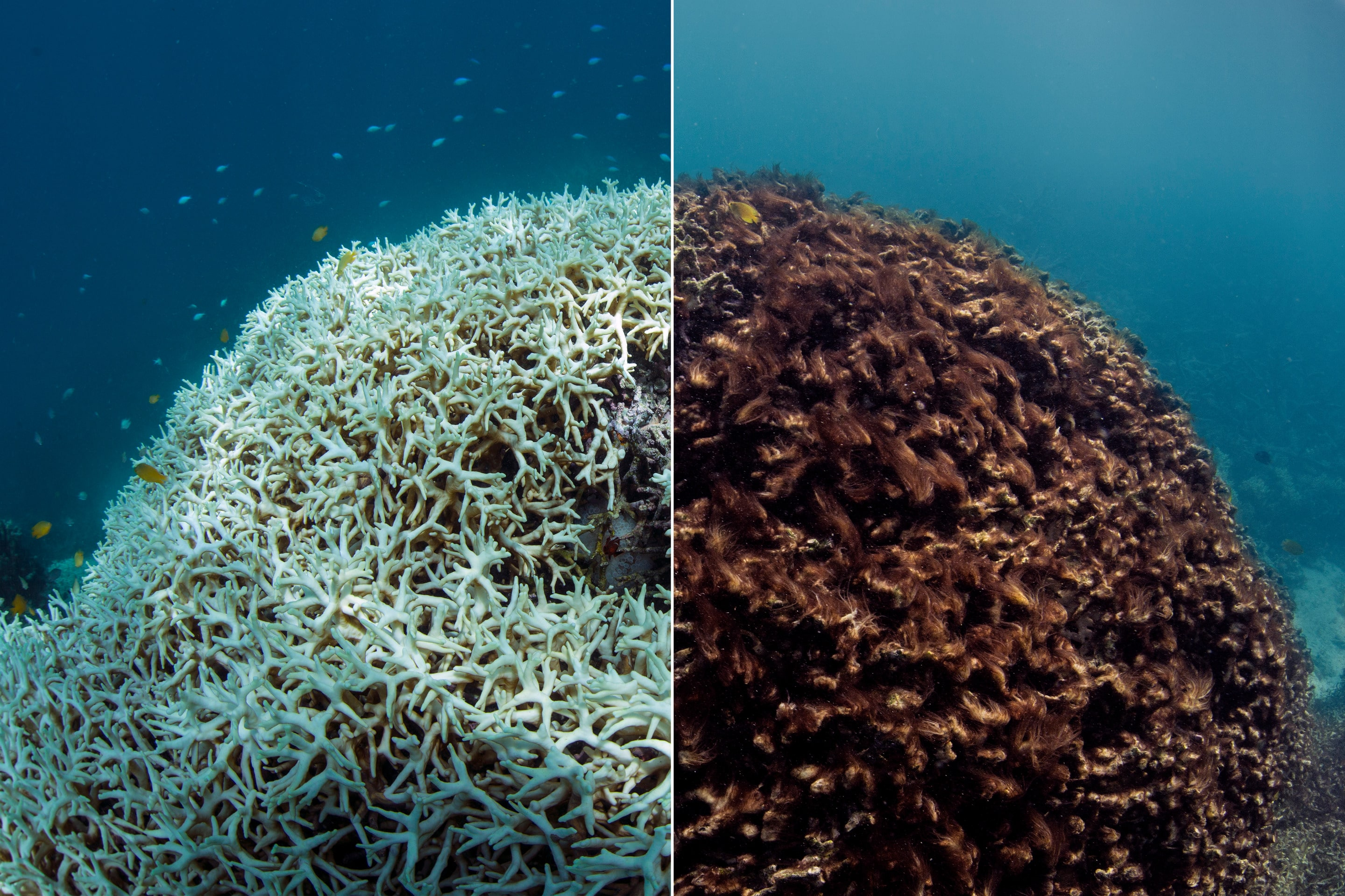 Before and After Coral Bleaching Photo by credit The Ocean Agency - XL Catlin Seaview Survey - Richard Vevers _ Christophe Bailhache.