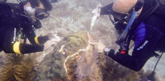 Operation To Save Coral From Disease Reaches Mid-Point In Florida