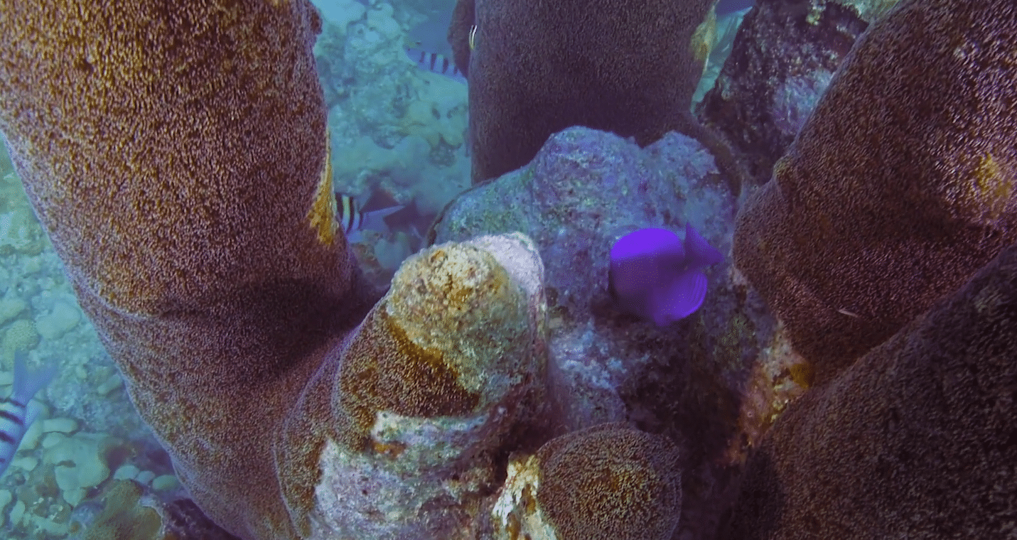 """War Zone"" - Stony Coral Tissue Loss Disease FORCE BLUE documentary"