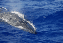 Gulf of Mexico Bryde's Whale
