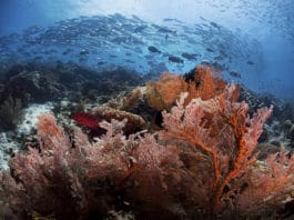 Amazing soft coral with schooling Jacks