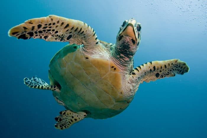 giant sea turtles are also a joy to dive with
