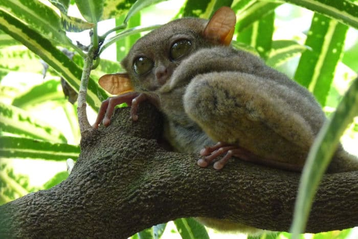 The rare tarsier can be seen in the Tangkoko Nature Reserve