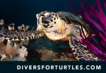 Divers For Turtles Launches Sea Turtle Diver Pledge