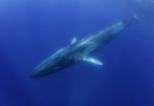 Blue whale, Pico Island, The Azores, Portugal.