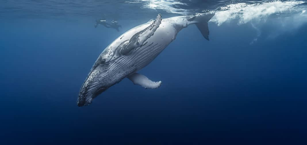 Gorgeous humpback whale, Réunion island - France.