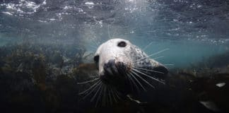 Curious Seal in Farnes Islands