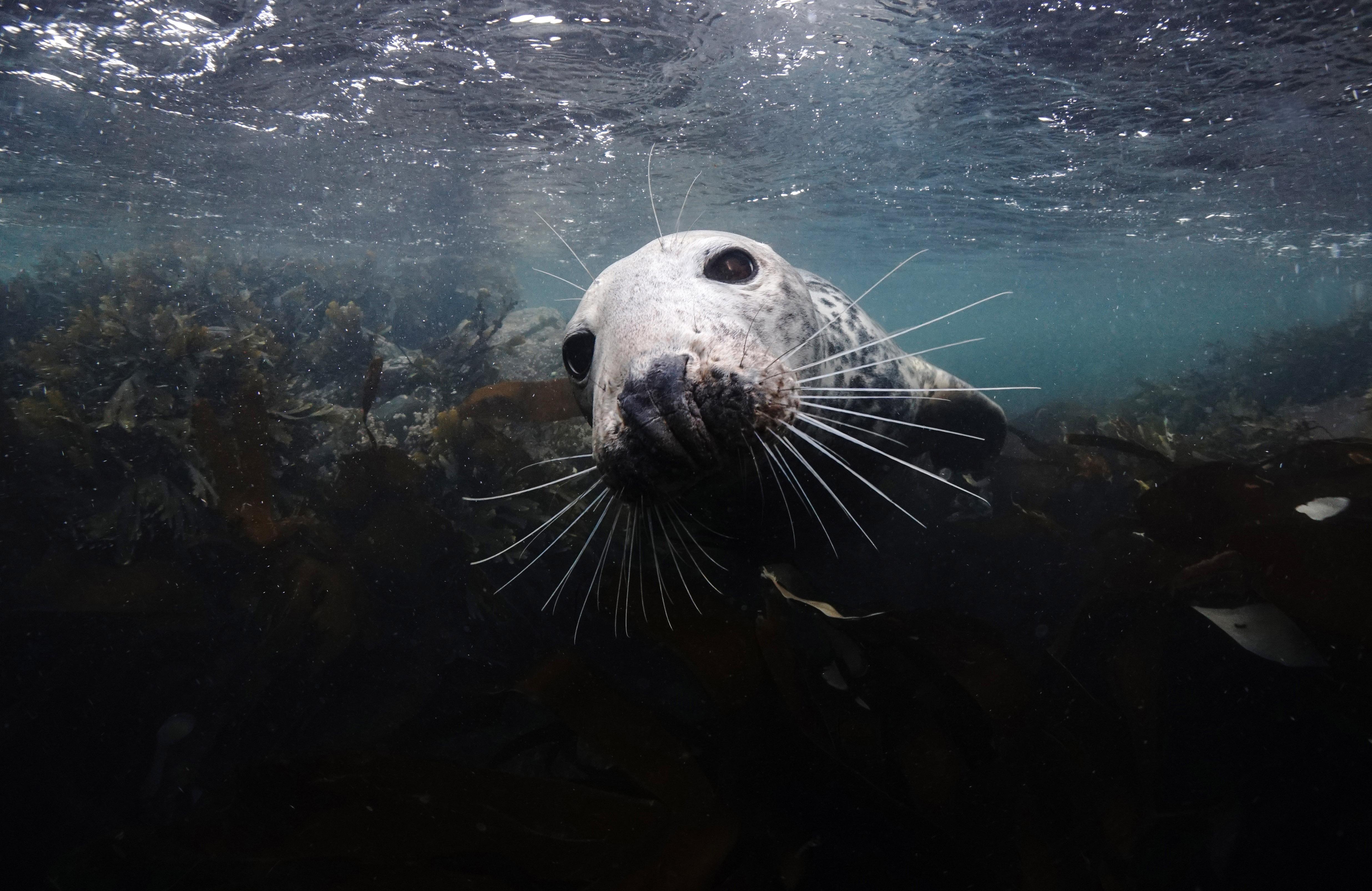 Curious Seal in Farnes Islands