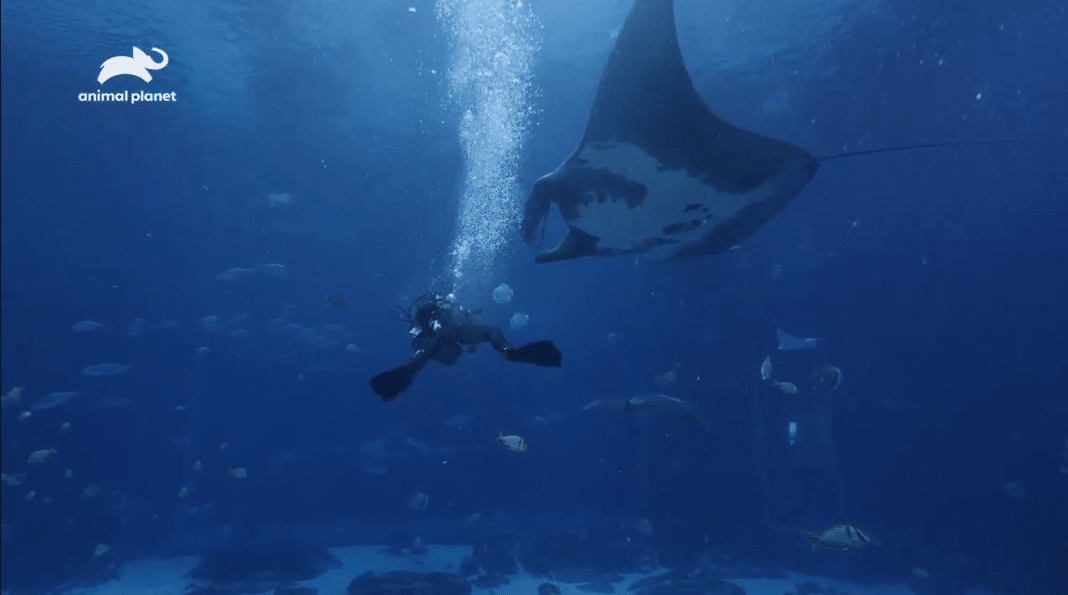 Manta Ray at Georgia Aquarium (Photo credit: Animal Planet)