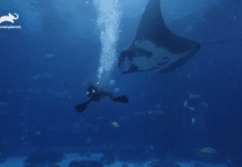 Manta Ray at Georgia Aquarium (Photo credit: Animal Planet)