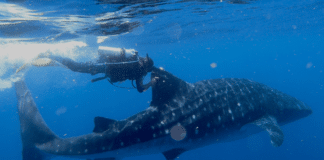 Who Needs GPS? Whale Shark Shows Incredible Navigation Skills
