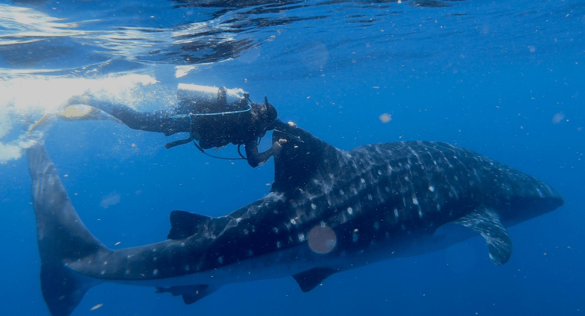 Who Needs GPS? Whale Shark Shows Incredible Navigation Skills